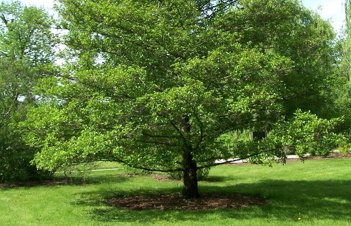 Так выглядит дерево Ольха
