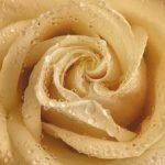Утренняя роза 194х136см