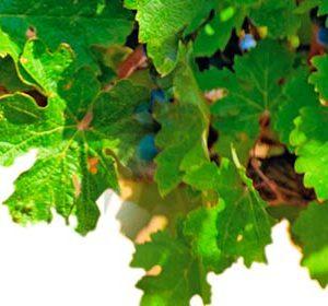 038 Фрукты, виноград. Фартук для кухни МДФ. 2,8 метра