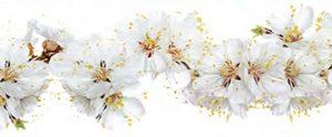 Цветы вишни. Фартук для кухни пластиковый. 3 метра