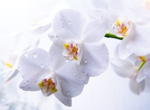 9007 Белые орхидеи. Фартук для кухни пластиковый. 3 метра